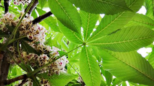 How to care for Aesculus