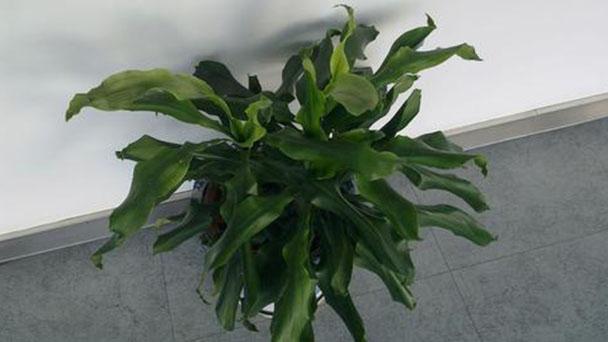 Dracaena deremensis Compacta profile