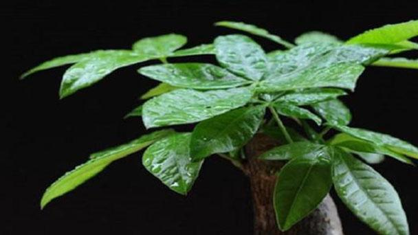 How do you take care of the Guiana Chestnut plant
