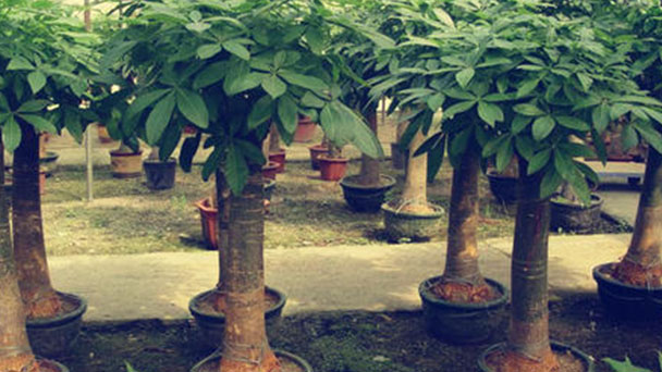 Guiana Chestnut-How to care for the plant