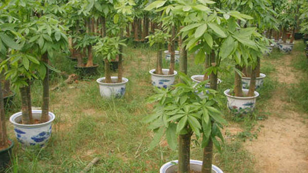 How to care for Guiana Chestnut