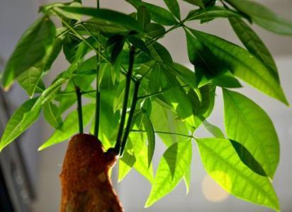 Guiana Chestnut