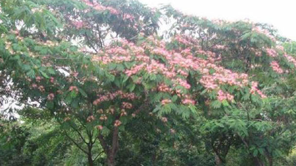 How to propagate Persian Silk trees