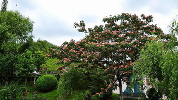 How to grow and care for Persian silk trees