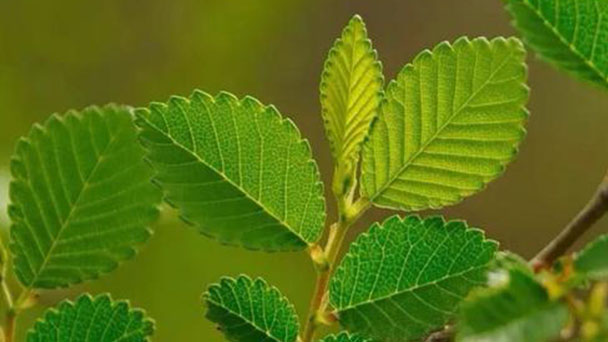 How to grow and care for Siberian elm
