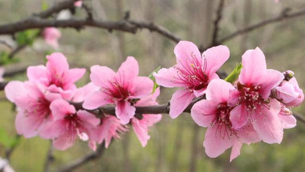 Peach blossom profile