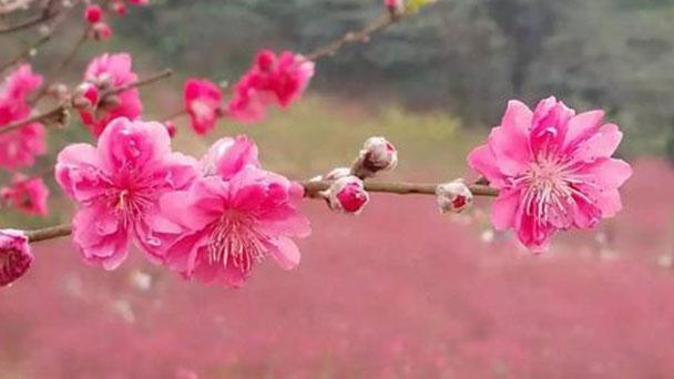 How to take care of Peach blossom