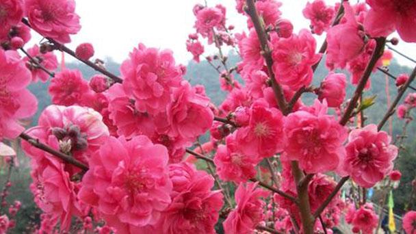 How to care for Peach blossom