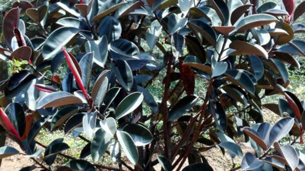 Rubber fig plant care