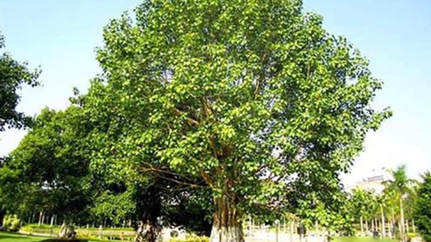 How to propagate Sacred fig