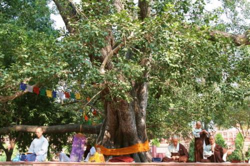 Best Indoor Tree - Sacred Fig