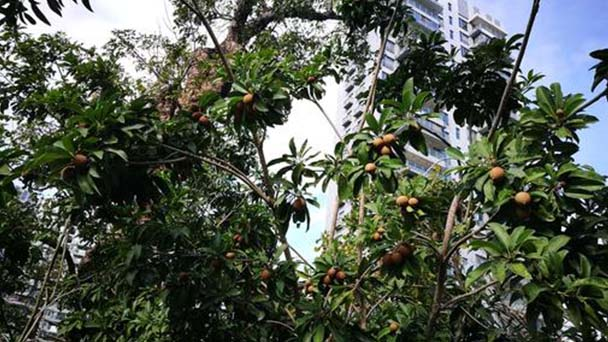 How to grow and care for Sapodilla