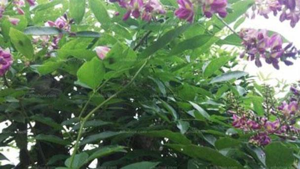 How to grow Spatholobus suberectus