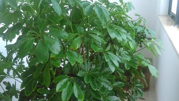 Australian chestnut profile