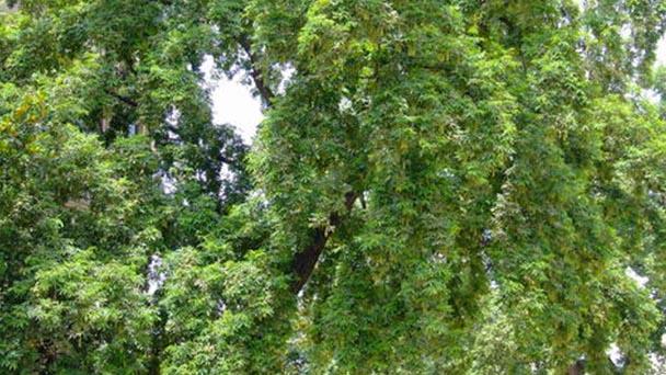 How to propagate Australian Chestnut
