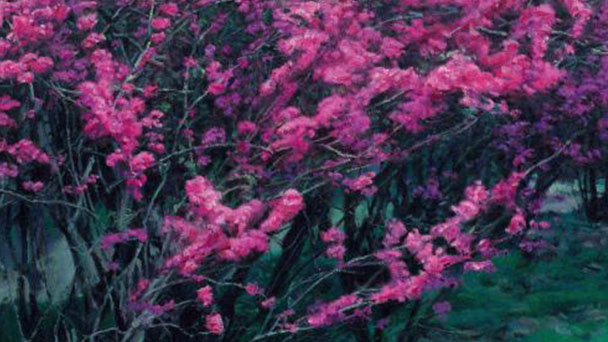 How to grow and care for Chinese Redbud