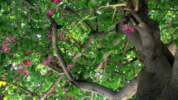 How to propagate Chinese Redbud