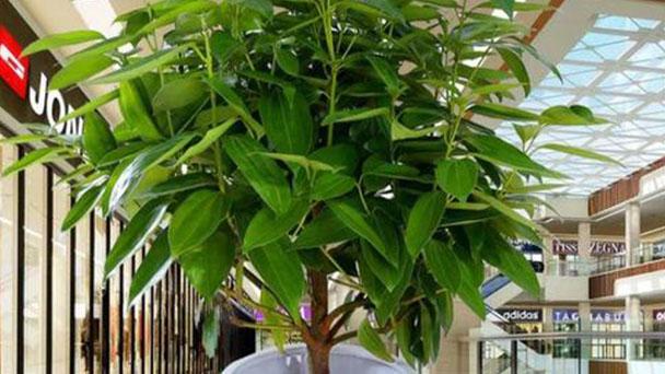 Cinnamomum kotoense profile