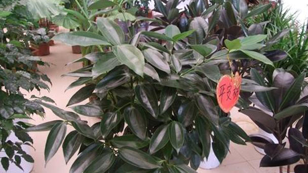 How to care for Cinnamomum Kotoense plant