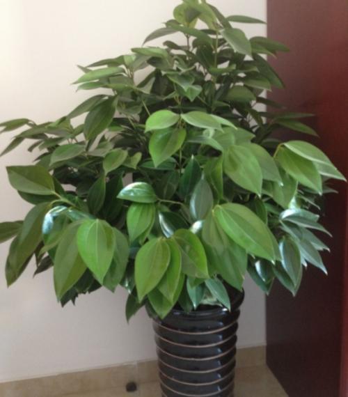 Cinnamomum Kotoense