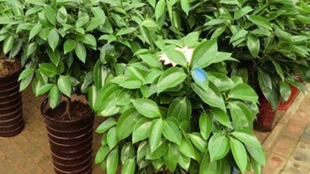 How to care for Cinnamomum Kotoense