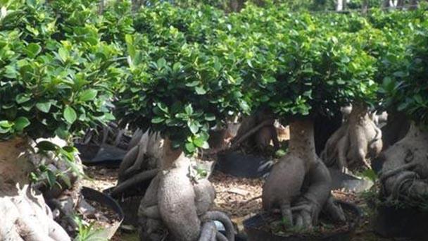Ficus microcarpa profile