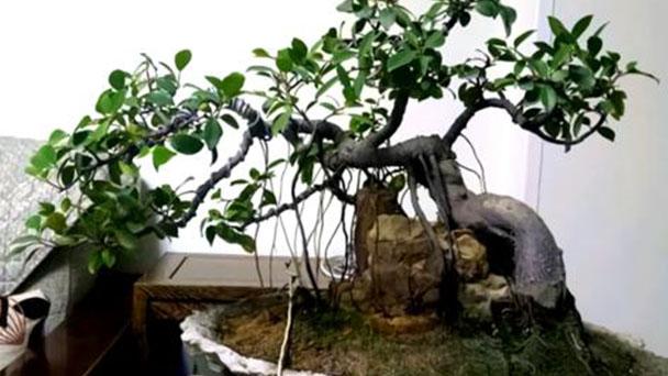 How to propagate Ficus Microcarpa