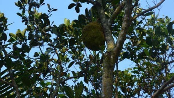 Jackfruit profile