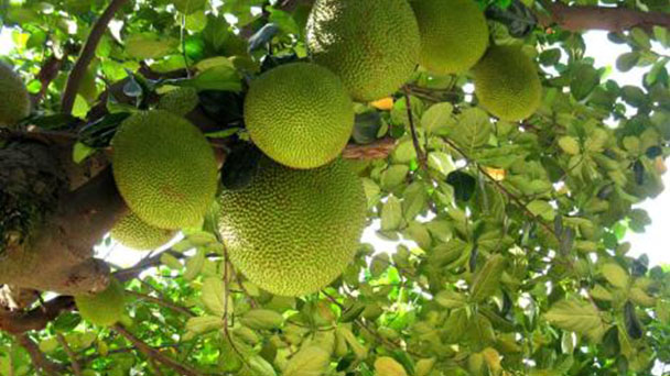 How to grow and care for Jackfruit