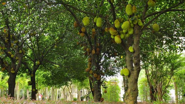 How to propagate Jackfruit