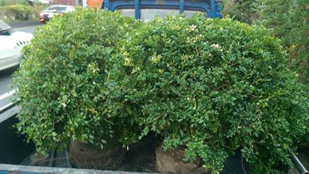 How to grow and care for Orange Jessamine