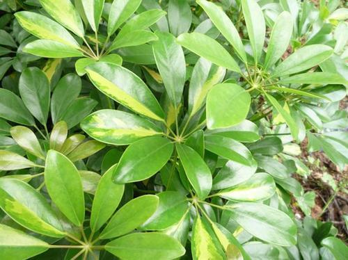 Scheffleras octophylla