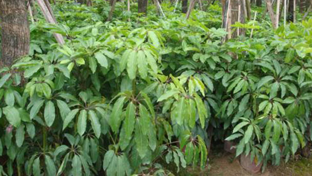 How to care for Schefflera octophylla
