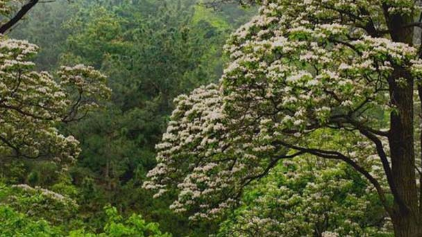 How to grow and care for Catalpa Bungei