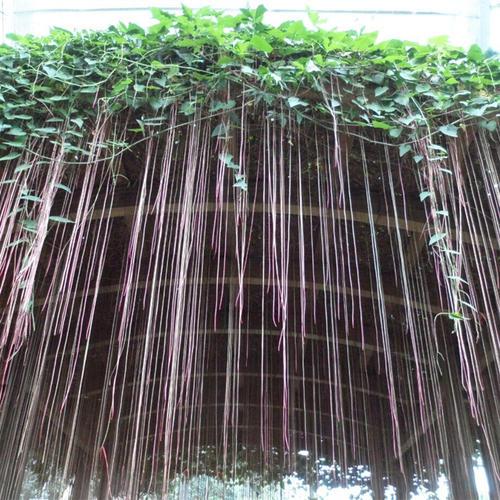 Cissus Verticillata