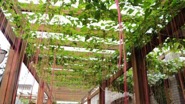 How to propagate Cissus Verticillata