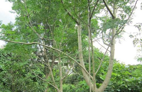 Drumstick tree