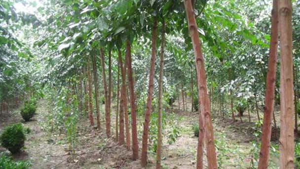 How to grow and care for Drumstick Tree