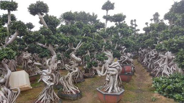 How to care for Ficus Microcarpa