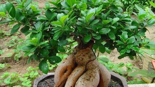 How to take care of Ficus Microcarpa