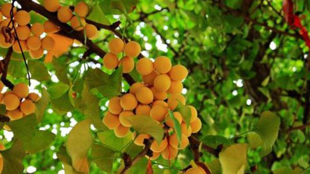 How to propagate Maidenhair tree