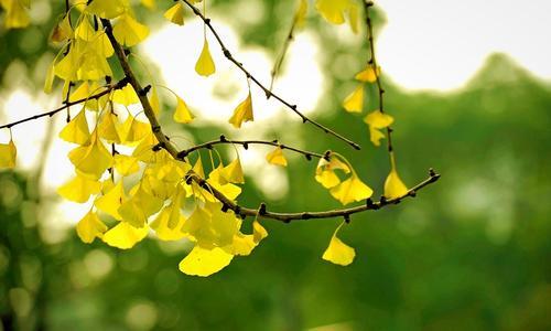 Maidenhair trees