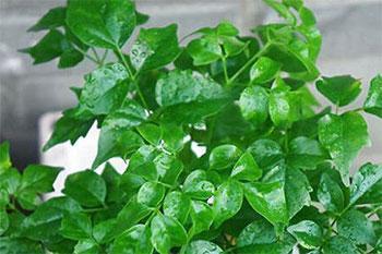 Radermachera hainanensis