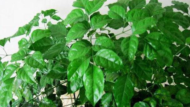 Radermachera hainanensis caring tips