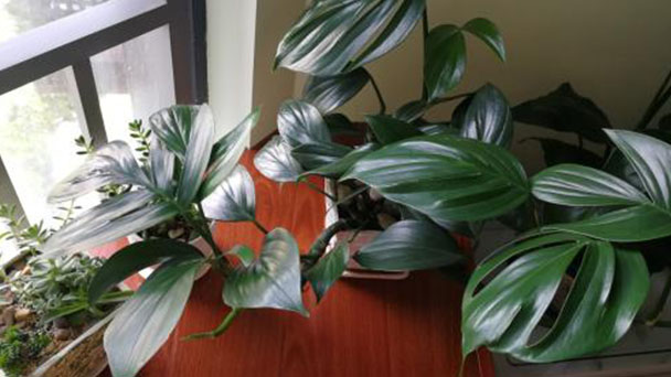 How to care for Swiss cheese plant