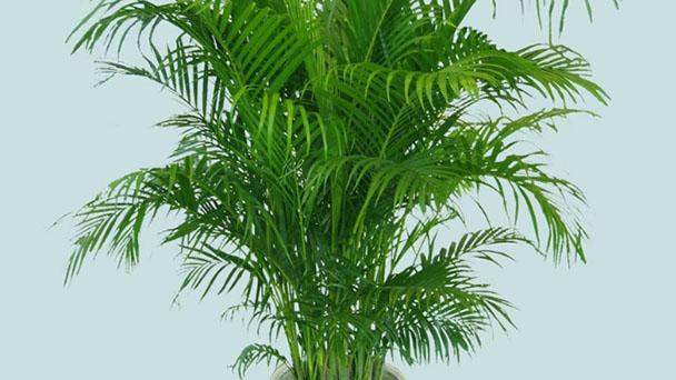 Bambusa multiplex profile
