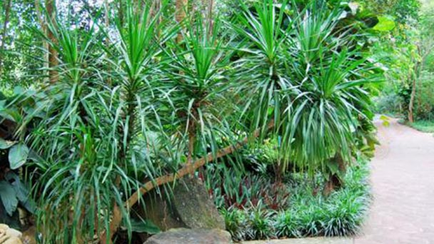 How to care for Dracaena