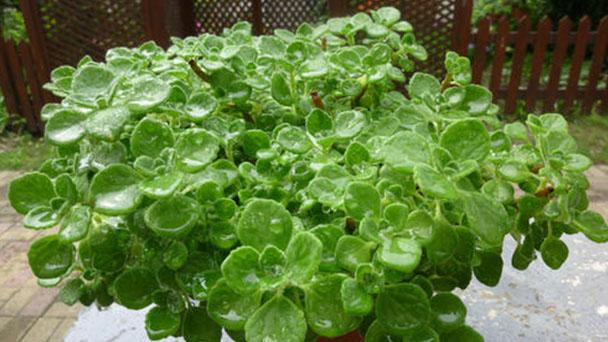 Plectranthus Cervezan Lime profile