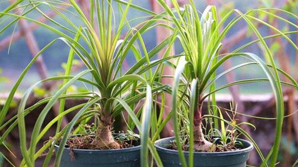 Ponytail palm profile