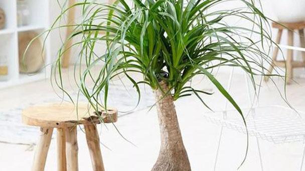 Propagation methods of Ponytail Palm